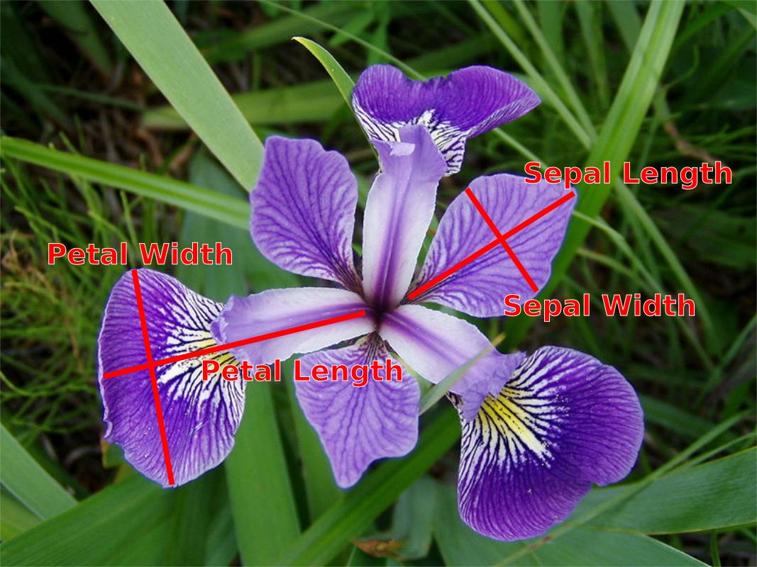 img/iris_versicolor_measurements.png